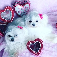 Testing out props for Valentine's Day pics. Hair up, not brushed, and bow just stuffed in our hair. How embarrassing! ~Lily & Ella #maltese #Valentine'sDay