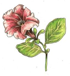 Tutorial: Botanical drawing with pencil and watercolor