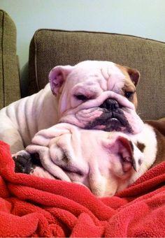 Bulldog wrinkles on wrinkles I Love Dogs, Puppy Love, Cute Puppies, Cute Dogs, Bulldog Puppies, Funny Animals, Cute Animals, Cute Bulldogs, British Bulldog
