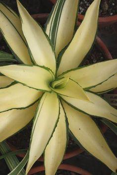 Agave desmettiana 'Joe Hoak' sport @ PDN/JLBG (Avent) - now deceased Succulent Gardening, Succulent Terrarium, Cacti And Succulents, Planting Succulents, Cactus Plants, Planting Flowers, Cacti Garden, Succulent Arrangements, Indoor Gardening