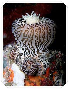 Deniz Anemon