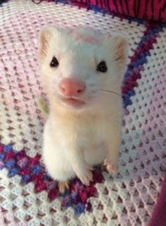 adorable white ferret standing on hind legs