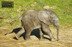 Rungwe, bébé #éléphant - ZooParc de Beauval