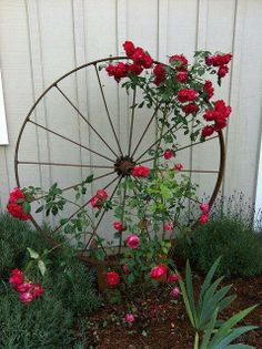 Rambling roses entwined in an old bicycle wheel #GardenArt