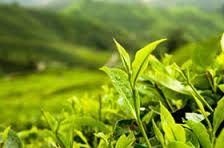 Image result for tea in japan