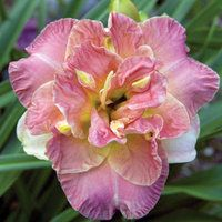 Lacy Doily Daylily-Reblooming