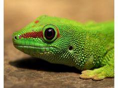 La salamandra es un urodelo de talla mediana a grande, con un tamaño que puede superar los 250 milímetros de longitud total. La cabeza es robusta con grandes glándulas parótidas, en las que son visibles una serie de poros glandulares, situadas detrás de unos ojos prominentes con pupilas marrones y redondas. El  cuerpo es de sección cilíndrica, de piel lisa con surcos en los costados y poros glandulares que se dividen a ambos lados del cuerpo llegando hasta el principio de la cola.