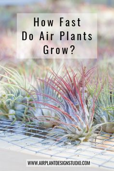 Ever wonder how fast air plants grow? We discuss this topic in more detail and explain the difference between of growth rate between offset and seed grown air plants! Learn how to care for your air plant, tips, and more! Cactus Plants, Garden Plants, House Plants, Indoor Gardening, Indoor Plants, Indoor Herbs, Air Plants Care, Plant Care, Garden Plant Stand