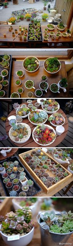 Tiny containers and propagating succulents. Propagating Succulents, Succulent Gardening, Cacti And Succulents, Planting Succulents, Container Gardening, Planting Flowers, Succulent Arrangements, Air Plants, Garden Plants