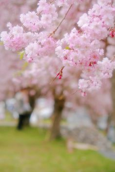Tree in spring/ Primavera Blossom Trees, Cherry Blossoms, Spring Blossom, Gras, Belle Photo, Spring Flowers, Spring Time, Beautiful Flowers, Flowers Nature