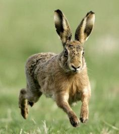 brown hare...