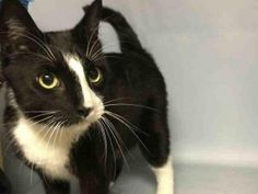 **TO BE DESTROYED 06/29/16** Dapper MR. PARSON is a neutered 6-year-old gent who had lived in his previous home since being taken in as a kitten. He enjoyed the company of other cats in that home, and is said to have gotten along nicely with the person who would ultimately surrender him to the kill shelter. MR. PARSON earned a perfect AVERAGE rating and is ready to go onto his next adventure---but that does NOT mean he is ready to go to the Rainbow Bridge! That's the plan as it stands…