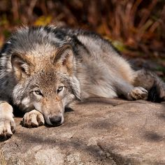 Timber Wolf At Rest