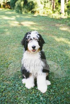 This handsome fellow is breaking hearts everywhere he goes! ❤  F1 Standard Bernedoodle Puppy   www.highfalutinfurrybabies.com