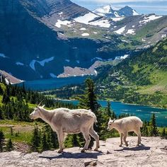 Have you heard? It's National Park Week! With over 400 amazing places to visit, you're sure to discover incredible views, fascinating history and outstanding recreational opportunities. Another great reason to visit national parks is to observe wildlife. So take the kids and see if you can enjoy the parks as much as these mountain goats at #Glacier #NationalPark in #Montana. Photo by @GlacierNPS Rick Sheremeta (www.sharetheexperience.org). #FindYourPark #usinterior