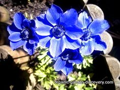 Anemones Blue Flowers Organic Diffe Type Of Wind