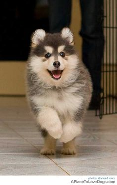 This is Fable, 8 week old Finnish Lapphund | A Place to Love Dogs