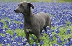 blue lacy dog photo | Blue Lacy - State Dog of Texas | pets