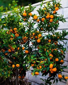 Seto Satsuma Orange Tree For Sale Online The Tree Center Satsuma Orange, Citrus Trees, Fruit Trees, Trees To Plant, Growing Tree, Growing Plants, Trees Online, Green Fruit, Plants