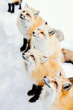 Zao Fox Village in Shiroishi, Japan. Cute Creatures, Beautiful Creatures, Animals Beautiful, Fox Village Japan, Nature Animals, Animals And Pets, Cute Funny Animals, Cute Dogs, Wolf Hybrid
