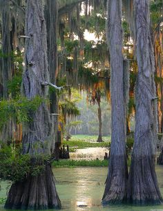 The largest cypress forest in the world at Caddo Lake, Texas/Louisiana, USA (by dave_hensley).