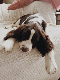 The Springer Spaniel is loving and excitable breed and makes a wonderful family pet. Springer Spaniel Puppies, English Cocker Spaniel, Spaniel Dog, Cute Puppies, Cute Dogs, Dogs And Puppies, Corgi Puppies, Doggies, Cockerspaniel