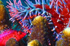 """Estrellas de mar como la """"Corona de Espinas"""" se alimentan de corales."""