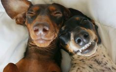 The 6 Hilarious Stages Of A Dachshund Waking Up