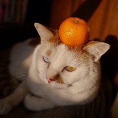 ミカン乗せ #cat #猫 #オッドアイ君
