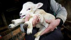 Carissimo Papa Francesco,    in qualità di studentessa in veterinaria ho assistito durante l'ultimo anno di università alla macellazione degli agnelli per Pasqua.    Da allora, sono passati più di 20 anni, i lamenti di cuccioli innocenti che vengono scuoiati mi hanno portato ad esser vegetariana e contro...