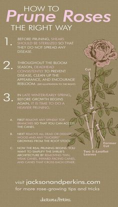 Lots of great info on how and when to prune your rose bushes - most of these tips are super easy and impossible to forget.