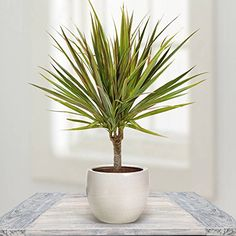 Houseplants That Can Survive Darkest Corner of Your House Dragon Tree - With stiff leaves this tree is attractive with colorful foliage. It needs low sunlight,when the leaves turn dry water it regularly. Inside Plants, Cool Plants, Air Plants, Best Indoor Plants, Indoor Garden, Balcony Garden, Dracaena Marginata, Plantas Indoor, Decoration Plante