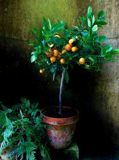 A mediterranean corner in my atrium, along with a potted fig tree, just like this one... -orange tree in terra cotta pot...