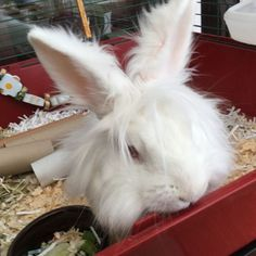How to Care for Lionhead Rabbits: 3 Steps (with Pictures)
