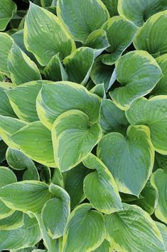 All About Hostas. Hostas are carefree, long-lived perennials that thrive in the shade. Unlike most perennials, hostas are grown for their decorative foliage rather than for their flowers. Hosta Plants, Outdoor Projects, Yard Landscaping, Home Remedies, Gardening Tips, Perennials, Outdoor Gardens, Beautiful Flowers, Plant Leaves