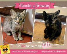 ¡BLONDIE Y BROWNIE en adopción!  Gatitas, dos meses, adorables. ¿Hace falta agregar algo más?