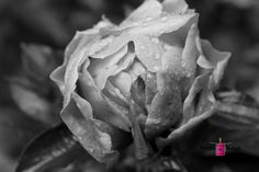 peony, raindrop, drop, flower, nature, black and white, photography, card, print, canvas,  (title: Backdoor Brilliance)