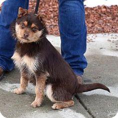 Terrier (Unknown Type, Small)/Chihuahua Mix Dog for adoption in Woodstock, Illinois - Chico