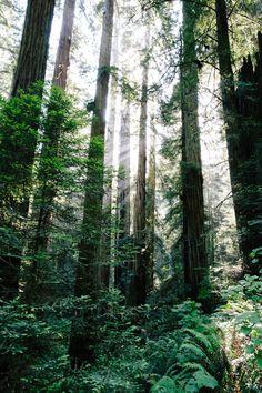 """Redwoods   California"""
