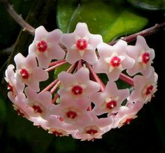 Hoya...  I love when my gram's used to bloom. I'd lay on the floor underneath it and it's so pretty to look up at.