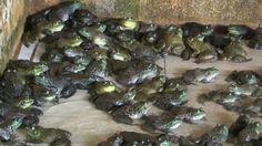 Kurbağa ilaçlaması