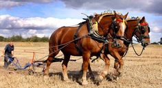 Suffolks ploughing