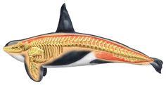 Interior anatomy of a killer whale