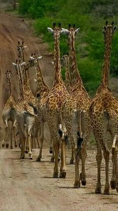 "Rush Hour in Africa LOL. notice the zebras reaction in the left top corner of the photo, he's like, ""whoa, giraffe stampede, i'm outta here! Cute Baby Animals, Animals And Pets, Nature Animals, Wild Animals, Beautiful Creatures, Animals Beautiful, Tier Fotos, All Gods Creatures, African Animals"
