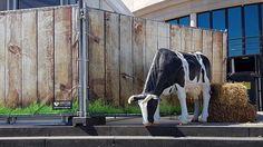 Koe Cow, Animals, Oktoberfest, Animales, Animaux, Cattle, Animal, Animais