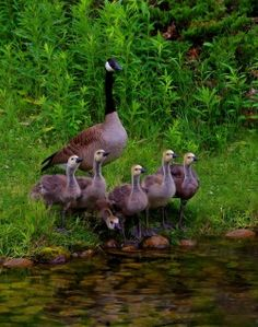Canada Goose with Goslings © Ashley Hockenberry