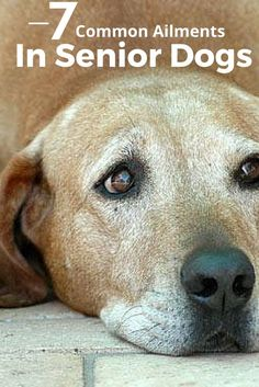 As your dog ages many changes occur... Be prepared with the following list of common ailments your senior dog may be experiencing!