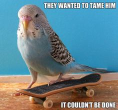 Rebel Budgie