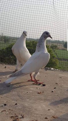 Weird Birds, Pigeon, Animals, Animales, Animaux, Animal, Animais