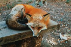The Zao Fox Village in Japan joins the ranks of rabbit island, Bahama's swimming pigs and cat world.